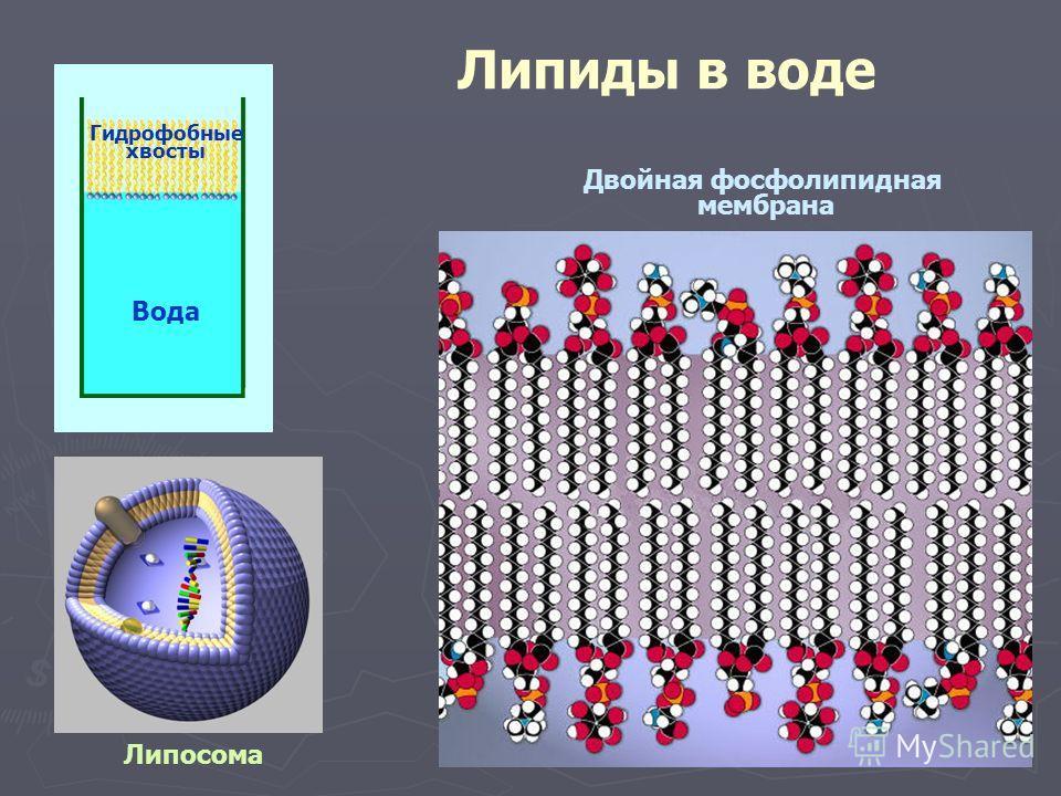Липиды в воде Вода Гидрофобные хвосты Липосома Двойная фосфолипидная мембрана
