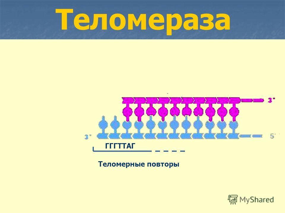 Теломераза Теломерные повторы ГГГТТАГ