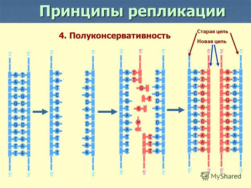 Новая цепь Старая цепь 4. Полуконсервативность Принципы репликации