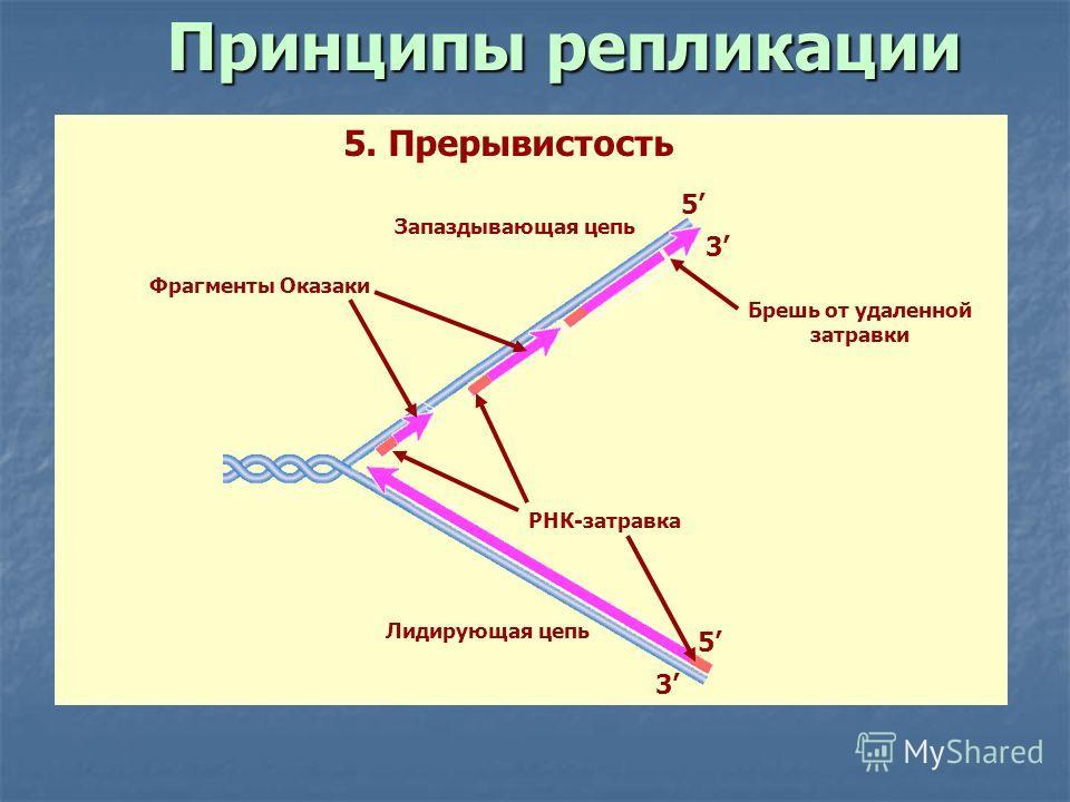 3 5 5 3 Лидирующая цепь Запаздывающая цепь РНК-затравка Брешь от удаленной затравки Фрагменты Оказаки 5. Прерывистость