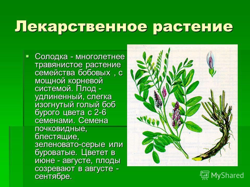 Лекарственное растение Солодка - многолетнее травянистое растение семейства бобовых, с мощной корневой системой. Плод - удлиненный, слегка изогнутый голый боб бурого цвета с 2-6 семенами. Семена почковидные, блестящие, зеленовато-серые или буроватые.
