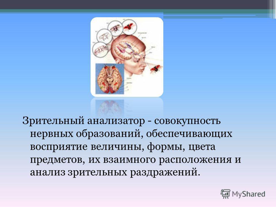Зрительный анализатор - совокупность нервных образований, обеспечивающих восприятие величины, формы, цвета предметов, их взаимного расположения и анализ зрительных раздражений.