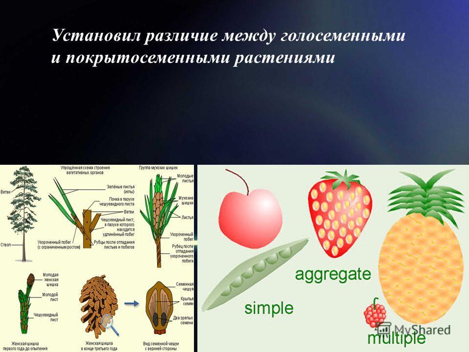 Установил различие между голосеменными и покрытосеменными растениями