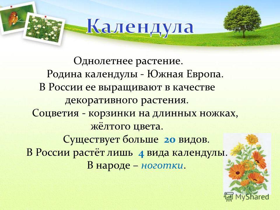 Однолетнее растение. Родина календулы - Южная Европа. В России ее выращивают в качестве декоративного растения. Соцветия - корзинки на длинных ножках, жёлтого цвета. Существует больше 20 видов. В России растёт лишь 4 вида календулы. В народе – ноготк