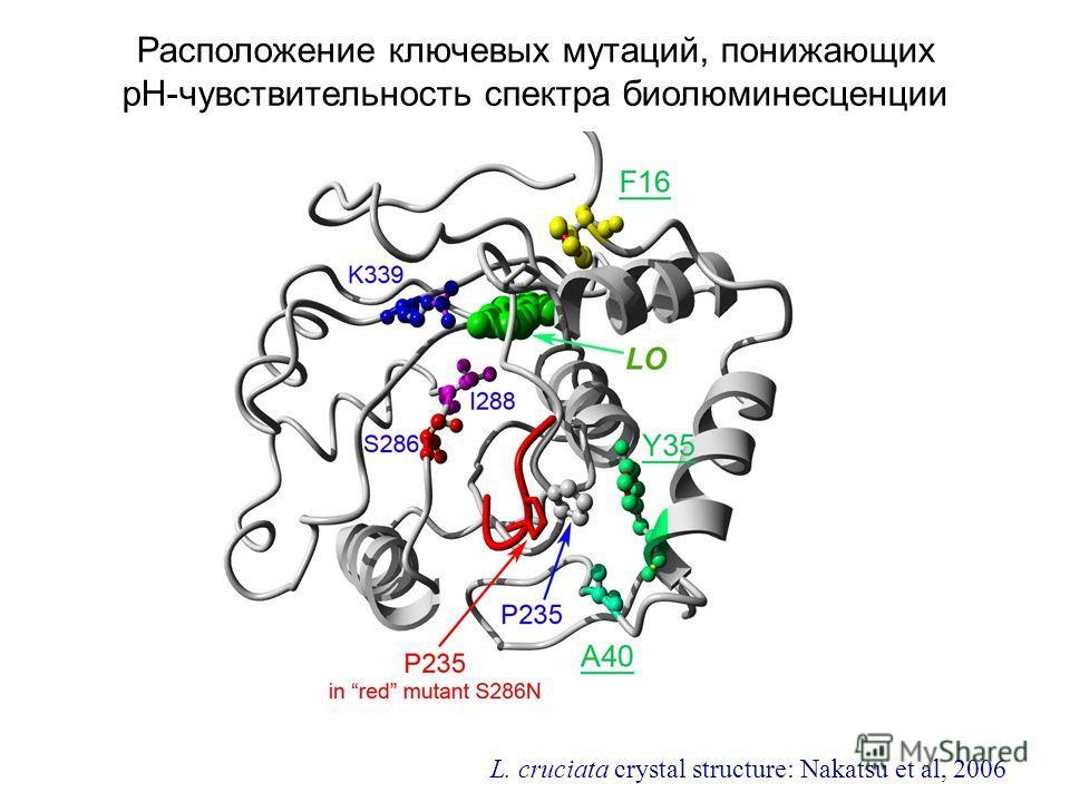 Расположение ключевых мутаций, понижающих pH-чувствительность спектра биолюминесценции L. cruciata crystal structure: Nakatsu et al, 2006
