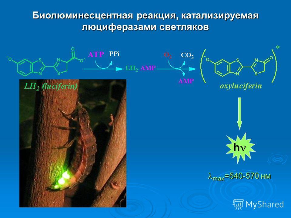 Биолюминесцентная реакция, катализируемая люциферазами светляков h max =540-570 нм max =540-570 нм