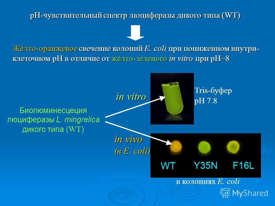 pH-чувствительный спектр люциферазы дикого типа (WT) Жёлто-оранжевое свечение колоний E. coli при пониженном внутри- клеточном pH в отличие от жёлто-зеленого in vitro при pH~8 in vitro Биолюминесцеция люциферазы L. mingrelica дикого типа ( WT ) в кол