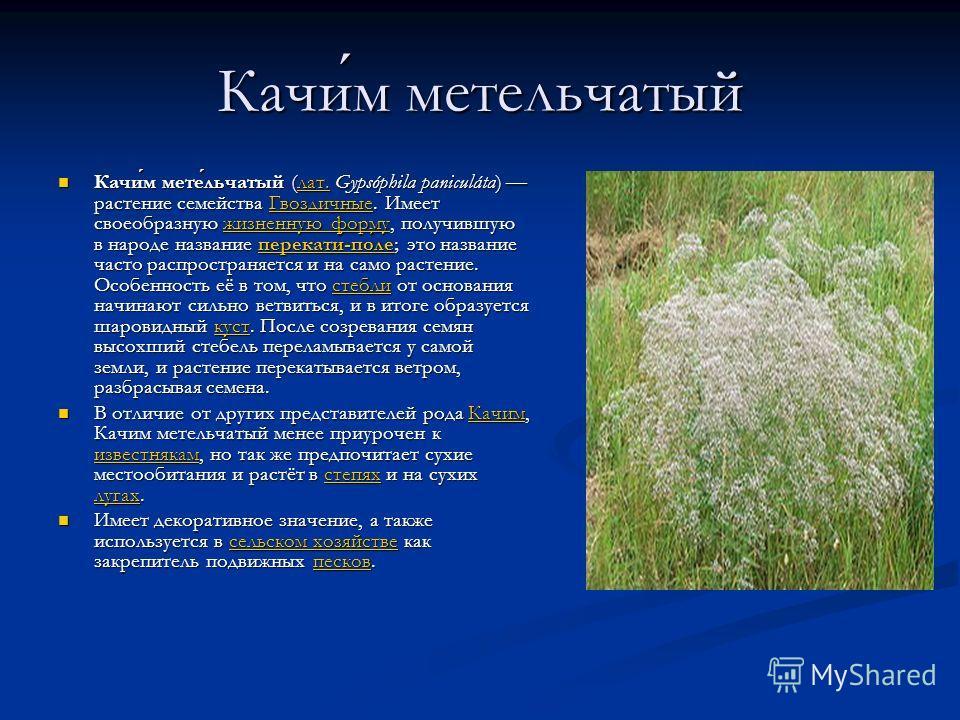 Качим метельчатый Качим метельчатый (лат. Gypsóphila paniculáta) растение семейства Гвоздичные. Имеет своеобразную жизненную форму, получившую в народе название перекати-поле; это название часто распространяется и на само растение. Особенность её в т