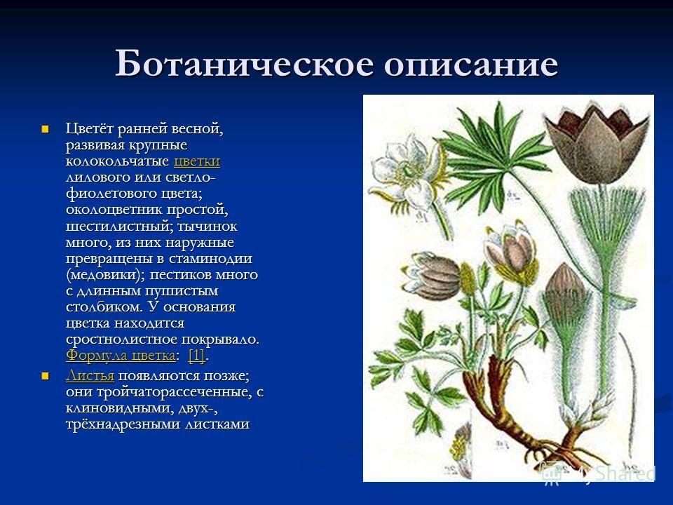 Ботаническое описание Цветёт ранней весной, развивая крупные колокольчатые цветки лилового или светло- фиолетового цвета; околоцветник простой, шестилистный; тычинок много, из них наружные превращены в стаминодии (медовики); пестиков много с длинным