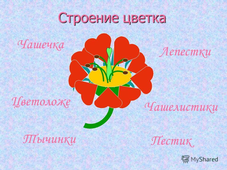 Строение цветка Пестик Тычинки Лепестки Чашечка Чашелистики Цветоложе