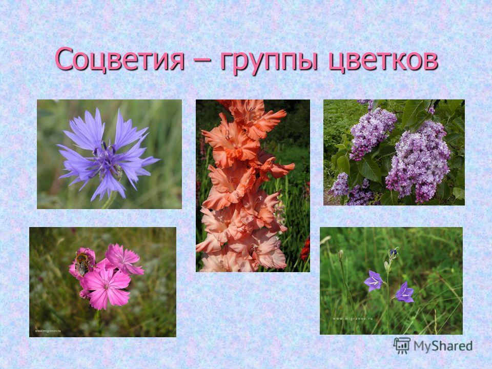 Соцветия – группы цветков