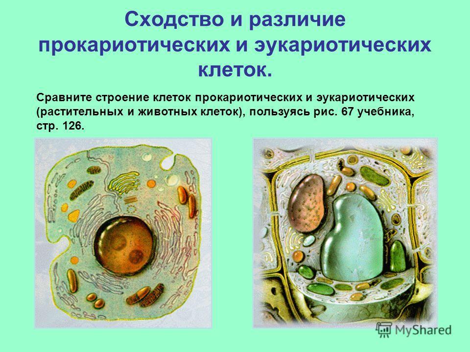 Сходство и различие прокариотических и эукариотических клеток. Сравните строение клеток прокариотических и эукариотических (растительных и животных клеток), пользуясь рис. 67 учебника, стр. 126.