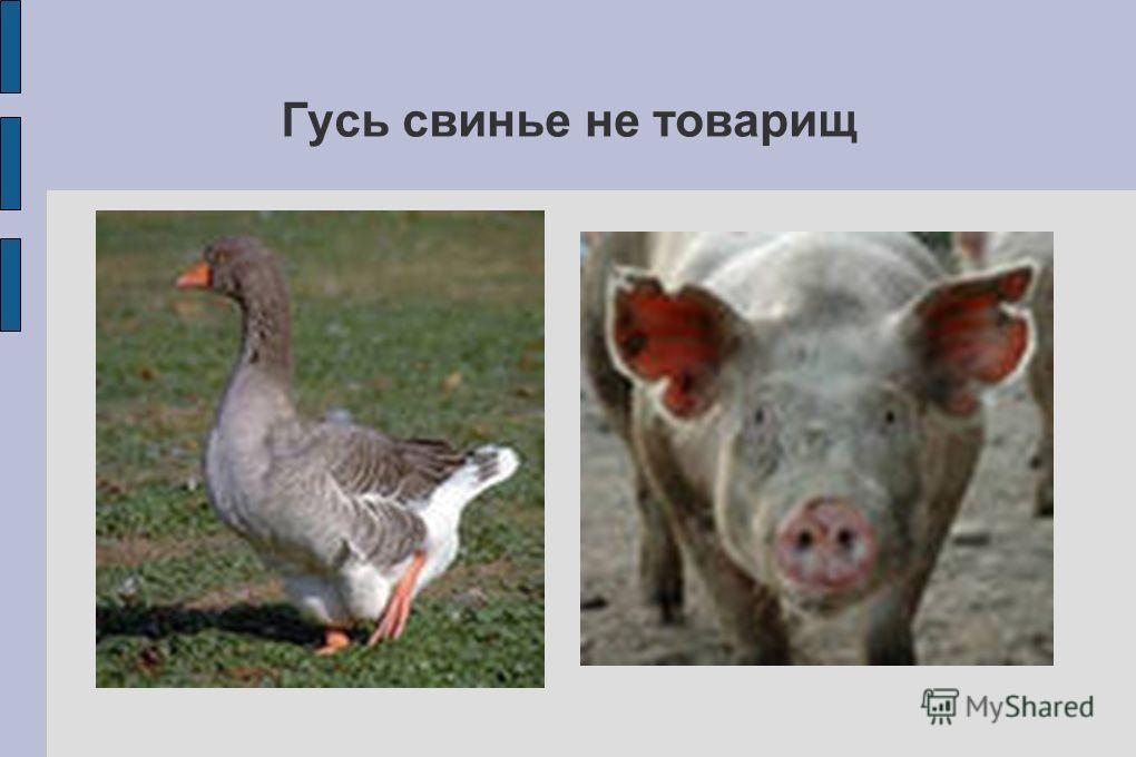 Гусь свинье не товарищ