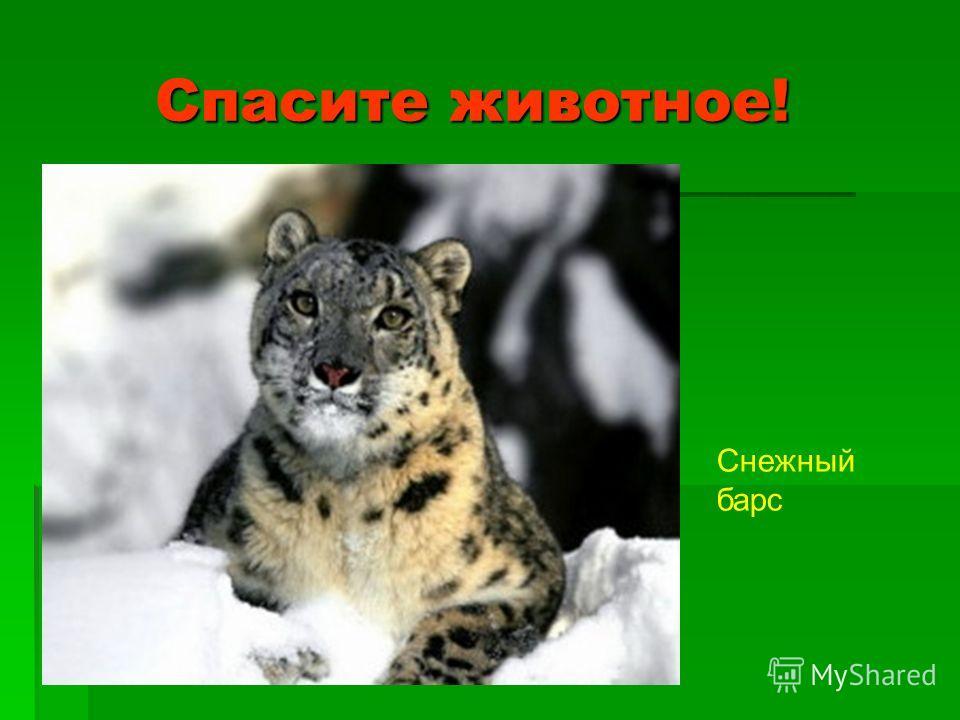 Спасите животное! Спасите животное! Снежный барс