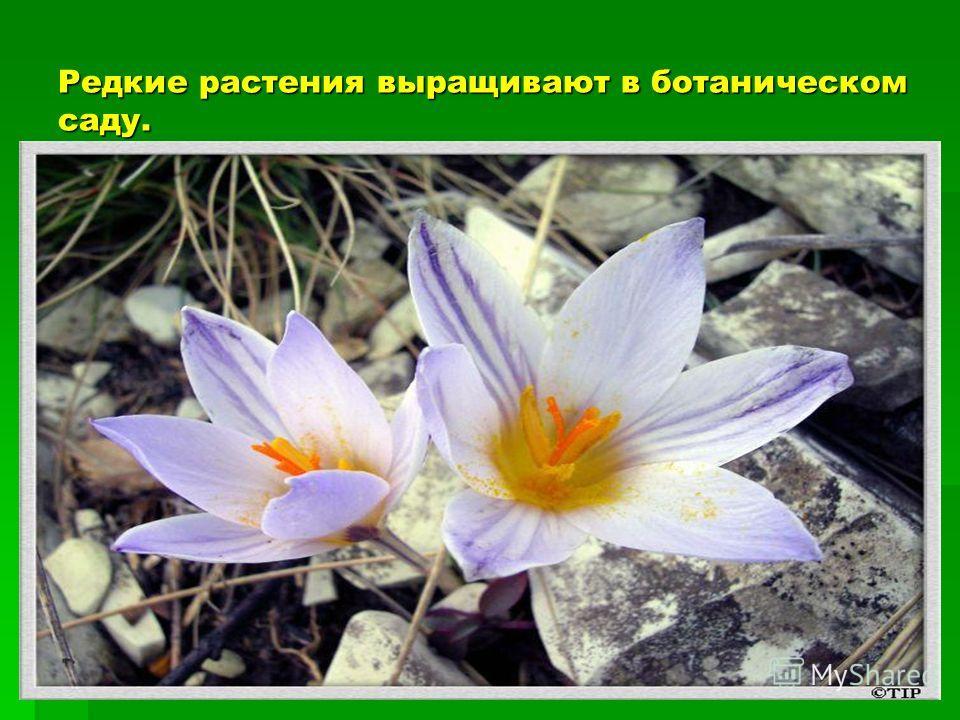 Редкие растения выращивают в ботаническом саду.