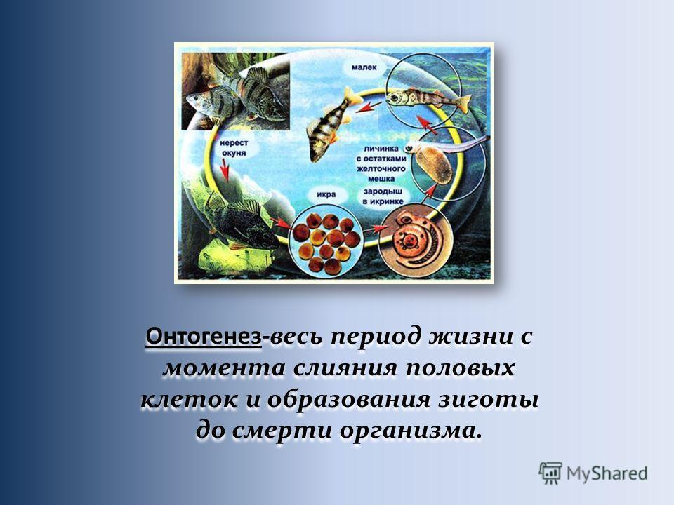 Онтогенез-весь период жизни с момента слияния половых клеток и образования зиготы до смерти организма.