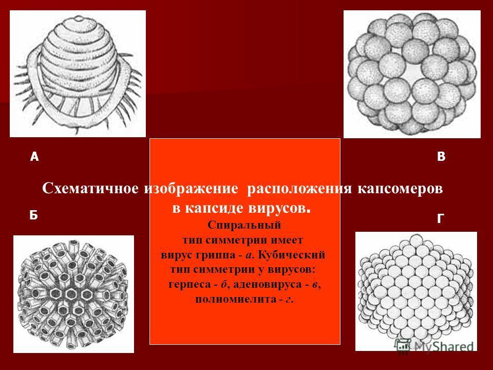 Схематичное изображение расположения капсомеров в капсиде вирусов. Спиральный тип симметрии имеет вирус гриппа - а. Кубический тип симметрии у вирусов: герпеса - б, аденовируса - в, полиомиелита - г. А Б В Г