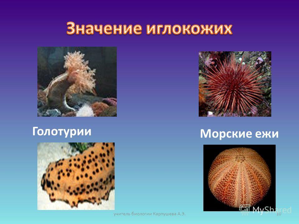 Голотурии Морские ежи 10учитель биологии Карпушева А.Э.