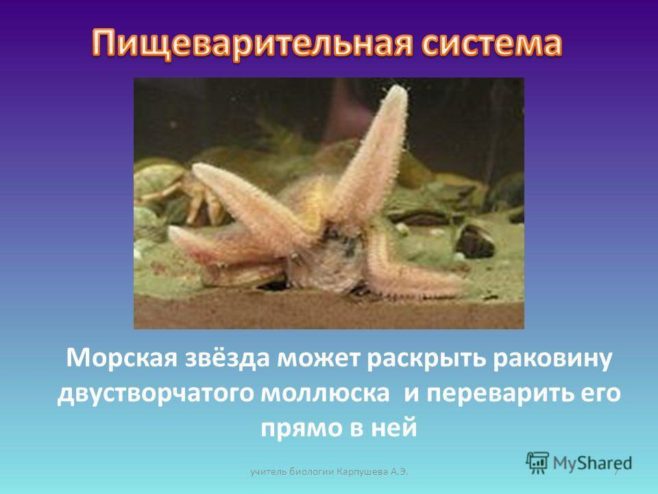 Морская звёзда может раскрыть раковину двустворчатого моллюска и переварить его прямо в ней 7учитель биологии Карпушева А.Э.