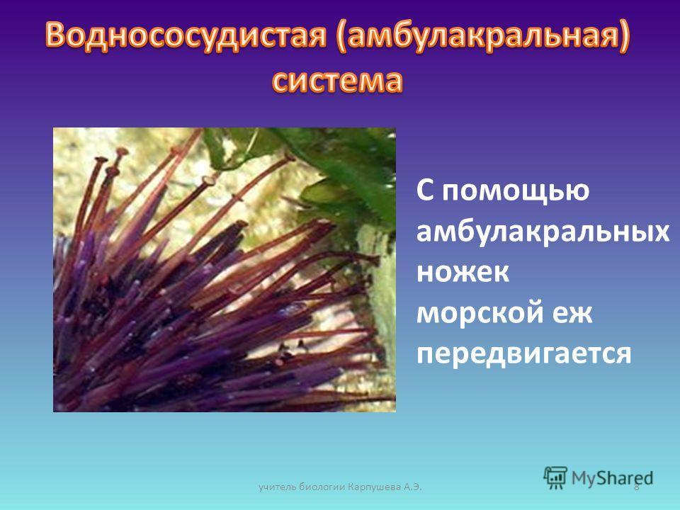 С помощью амбулакральных ножек морской еж передвигается 8учитель биологии Карпушева А.Э.