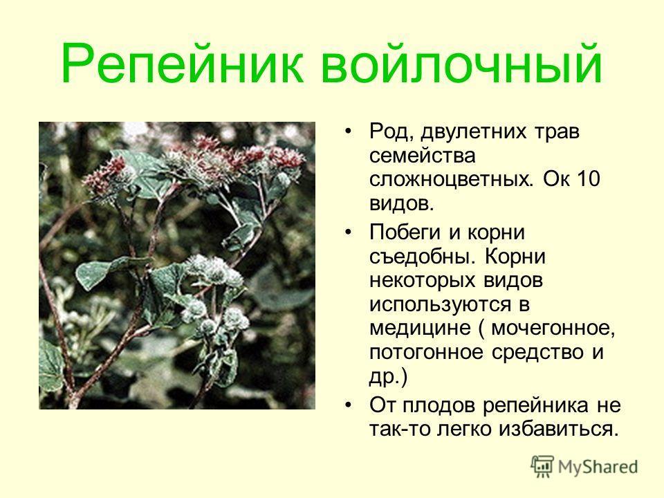 Репейник войлочный Род, двулетних трав семейства сложноцветных. Ок 10 видов. Побеги и корни съедобны. Корни некоторых видов используются в медицине ( мочегонное, потогонное средство и др.) От плодов репейника не так-то легко избавиться.