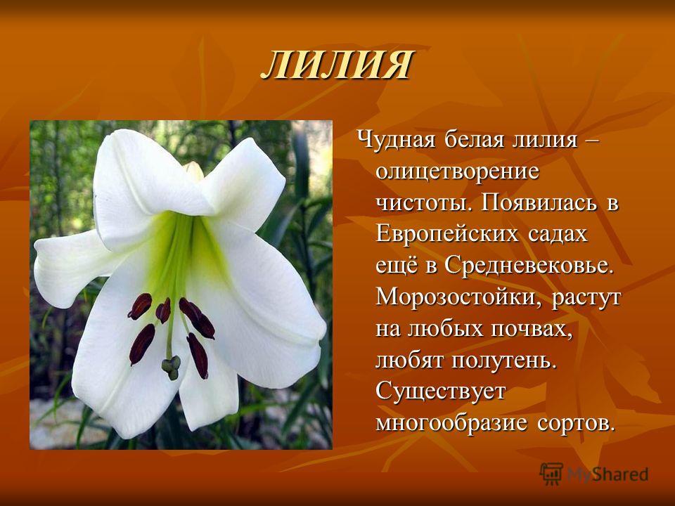 ЛИЛИЯ Чудная белая лилия – олицетворение чистоты. Появилась в Европейских садах ещё в Средневековье. Морозостойки, растут на любых почвах, любят полутень. Существует многообразие сортов. Чудная белая лилия – олицетворение чистоты. Появилась в Европей