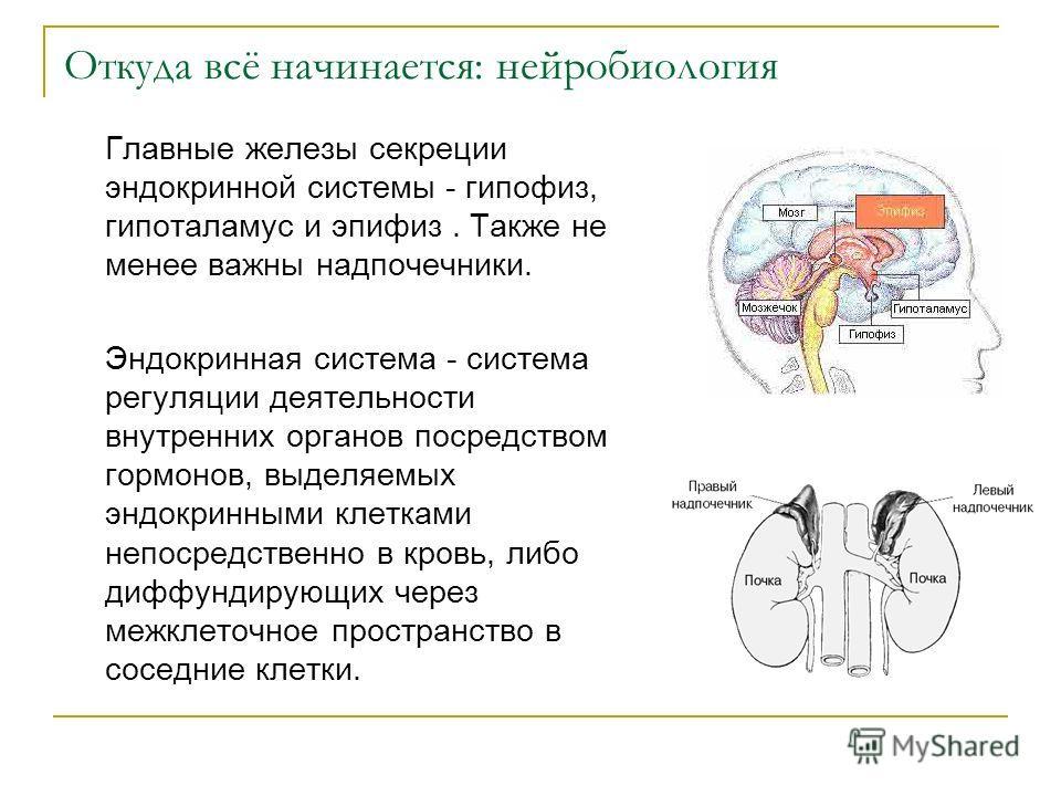 Откуда всё начинается: нейробиология Главные железы секреции эндокринной системы - гипофиз, гипоталамус и эпифиз. Также не менее важны надпочечники. Эндокринная система - система регуляции деятельности внутренних органов посредством гормонов, выделяе