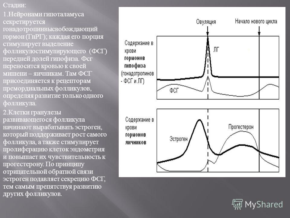 Стадии : 1. Нейронами гипоталамуса секретируется гонадотропинвысвобождающий гормон ( ГнРГ ); каждая его порция стимулирует выделение фолликулостимулирующего ( ФСГ ) передней долей гипофиза. Фсг переносится кровью к своей мишени – яичникам. Там ФСГ пр