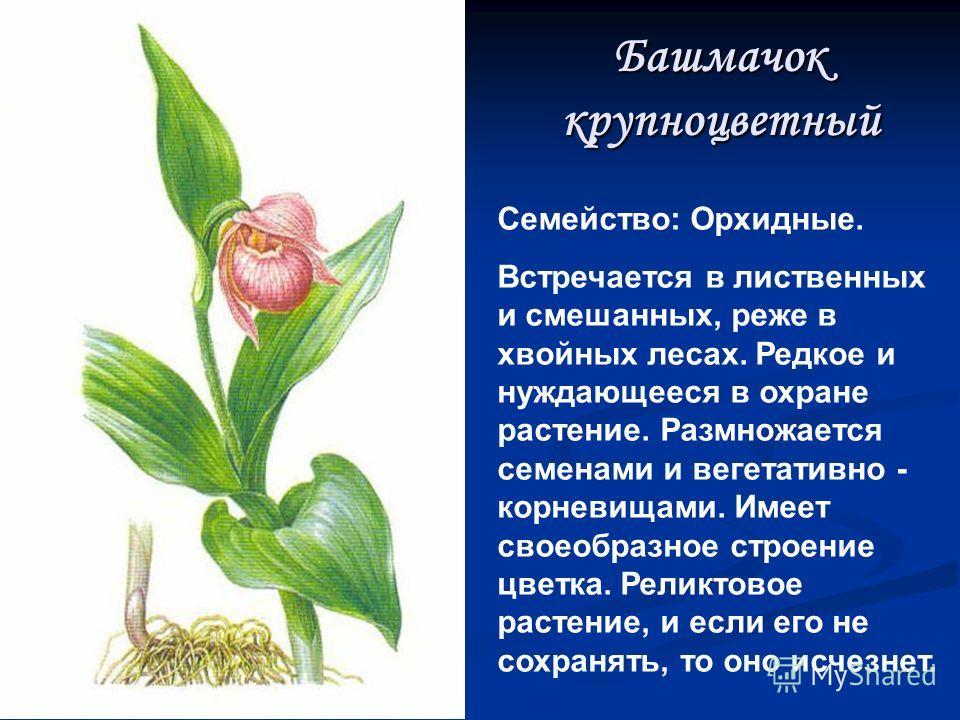 Башмачок настоящий Семейство: Орхидные. Декоративное реликтовое (древнее) растение. Растет в светлых лиственных лесах, предпочитает известковую почву. Размножается семенами, иногда вегетативно. Зацветает на 18-й год. Эндемик Восточной Сибири, т. е. о