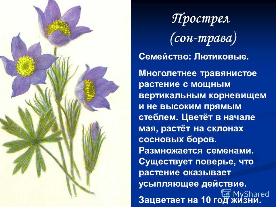 Купальница европейская Семейство: Лютиковые. Многолетнее травянистое растение. Стройные длинные цветоножки венчают упругие бубенцы. Лепестки золотисто – оранжевого цвета, сложены шарообразно, имеют слабый медовый запах. Растёт на опушках, среди куста