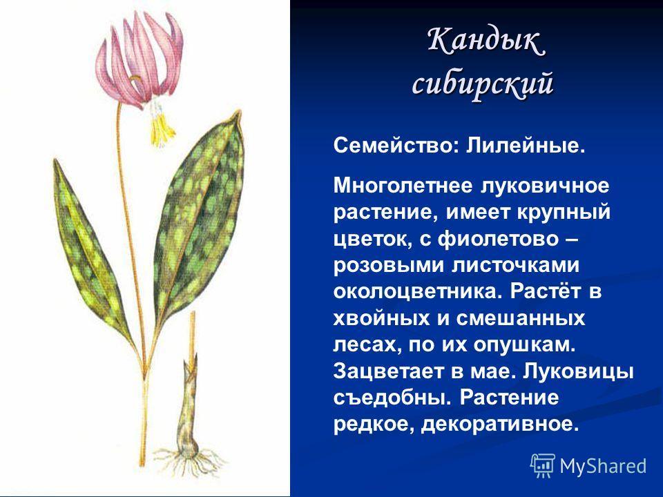 Прострел (сон-трава) Семейство: Лютиковые. Многолетнее травянистое растение с мощным вертикальным корневищем и не высоким прямым стеблем. Цветёт в начале мая, растёт на склонах сосновых боров. Размножается семенами. Существует поверье, что растение о