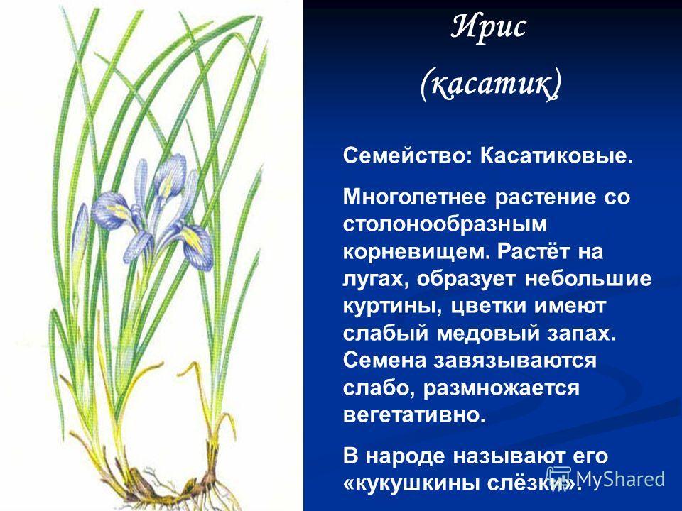 Кандык сибирский Семейство: Лилейные. Многолетнее луковичное растение, имеет крупный цветок, с фиолетово – розовыми листочками околоцветника. Растёт в хвойных и смешанных лесах, по их опушкам. Зацветает в мае. Луковицы съедобны. Растение редкое, деко