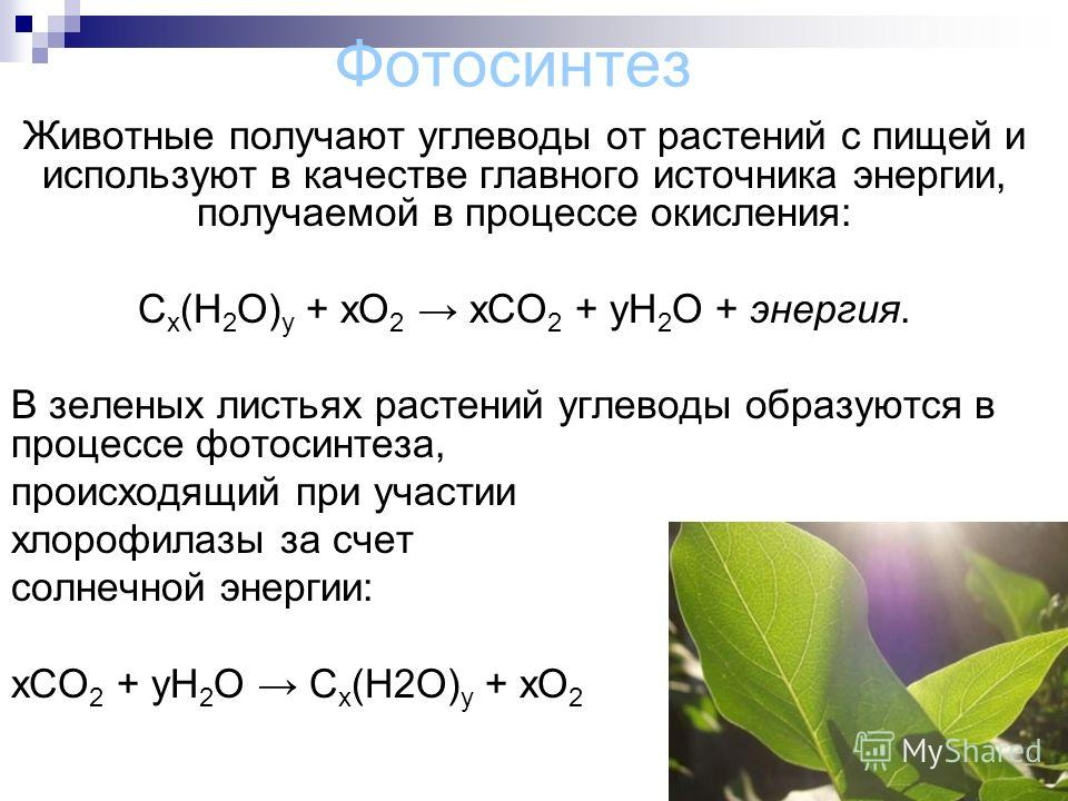 Фотосинтез Животные получают углеводы от растений с пищей и используют в качестве главного источника энергии, получаемой в процессе окисления: C x (H 2 O) y + xO 2 xCO 2 + yH 2 O + энергия. В зеленых листьях растений углеводы образуются в процессе фо