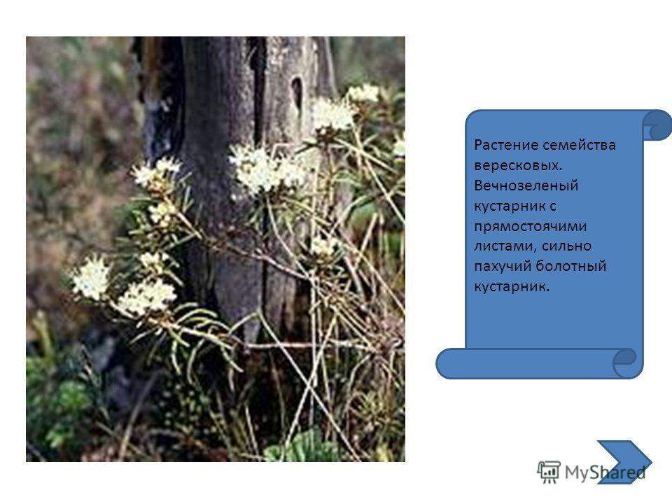 Растение семейства вересковых. Вечнозеленый кустарник с прямостоячими листами, сильно пахучий болотный кустарник.