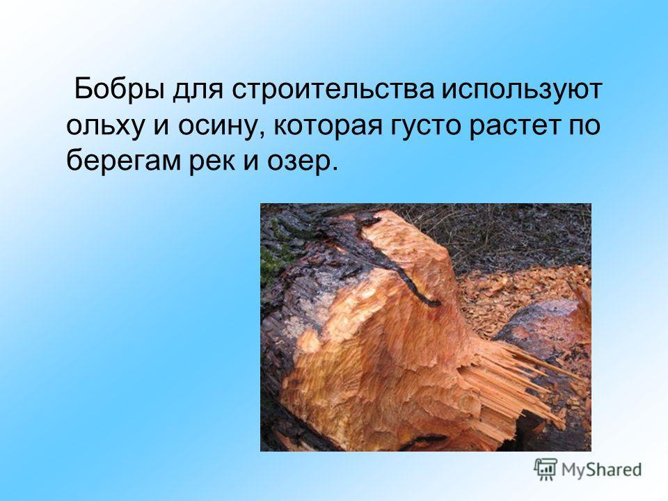 Бобры для строительства используют ольху и осину, которая густо растет по берегам рек и озер.