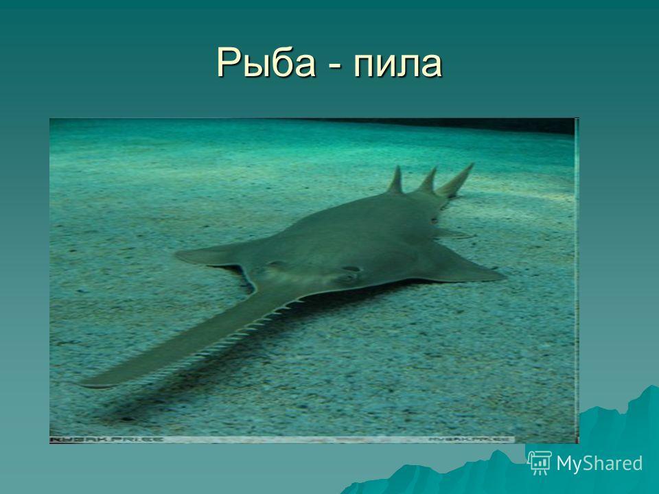 Рыба - пила