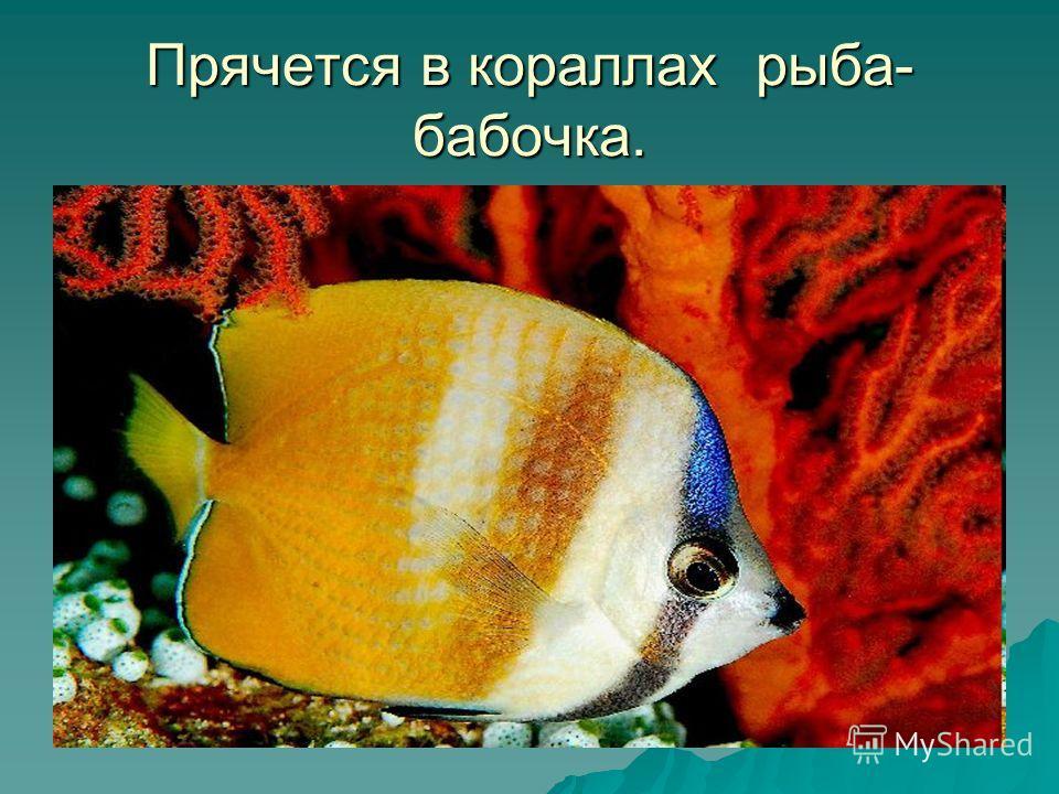 Прячется в кораллах рыба- бабочка.