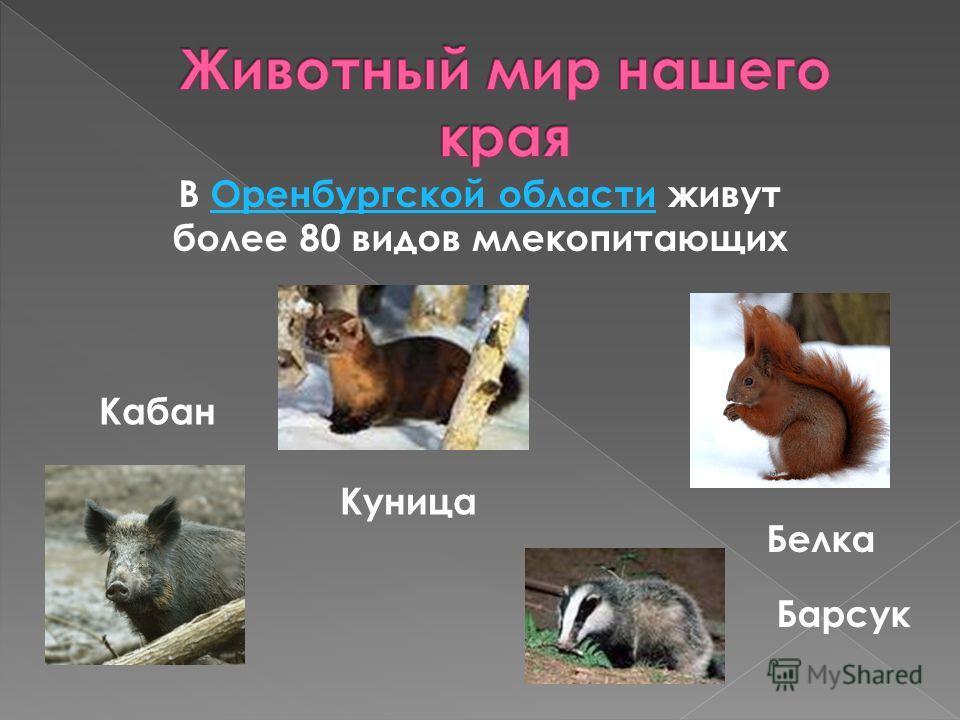 В Оренбургской области живут более 80 видов млекопитающихОренбургской области Куница Барсук Кабан Белка