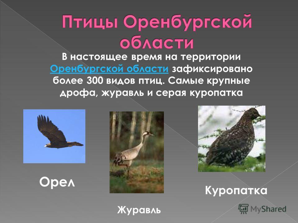 В настоящее время на территории Оренбургской области зафиксировано более 300 видов птиц. Самые крупные дрофа, журавль и серая куропатка Оренбургской области Орел Журавль Куропатка