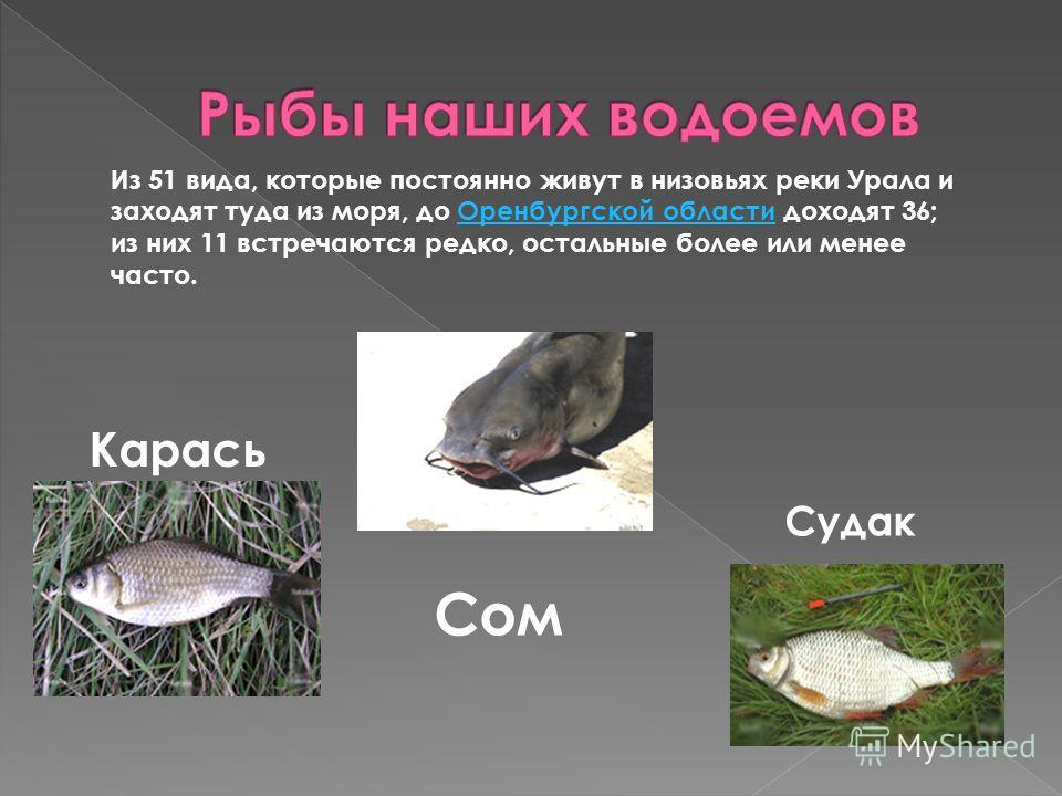 Карась Сом Судак Из 51 вида, которые постоянно живут в низовьях реки Урала и заходят туда из моря, до Оренбургской области доходят 36; из них 11 встречаются редко, остальные более или менее часто.Оренбургской области