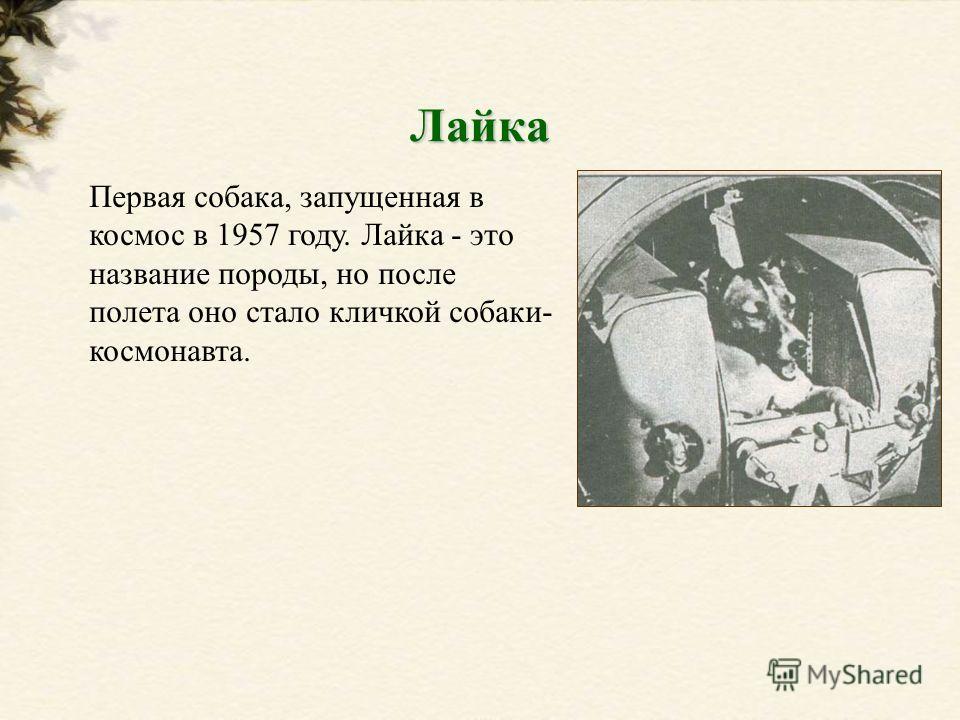 Первая собака, запущенная в космос в 1957 году. Лайка - это название породы, но после полета оно стало кличкой собаки- космонавта. Лайка