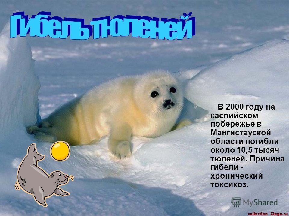 В 2000 году на каспийском побережье в Мангистауской области погибли около 10,5 тысяч тюленей. Причина гибели - хронический токсикоз.