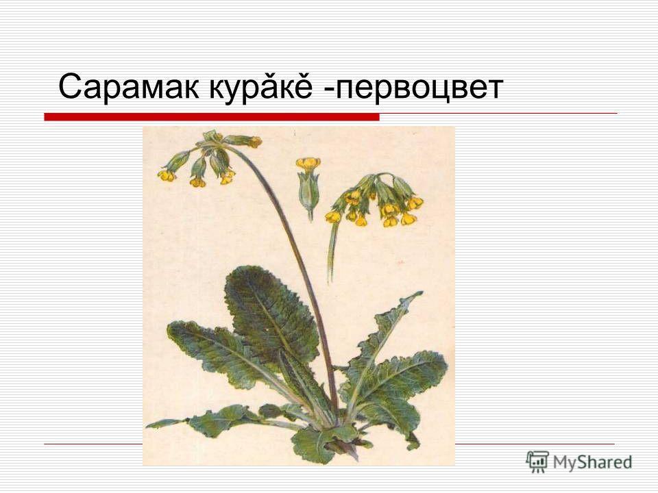 Сарамак курǎкě -первоцвет