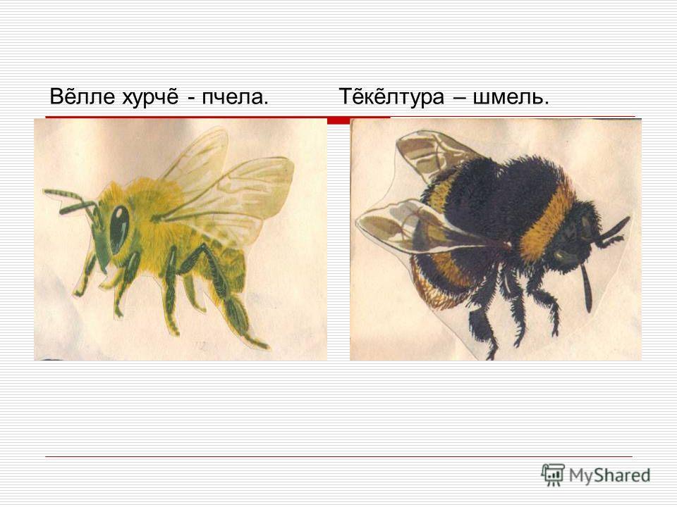 Влле хурч - пчела. Тклтура – шмель.