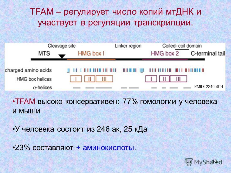 10 TFAM высоко консервативен: 77% гомологии у человека и мыши У человека состоит из 246 ак, 25 кДа 23% составляют + аминокислоты. TFAM – регулирует число копий мтДНК и участвует в регуляции транскрипции. PMID: 22465614