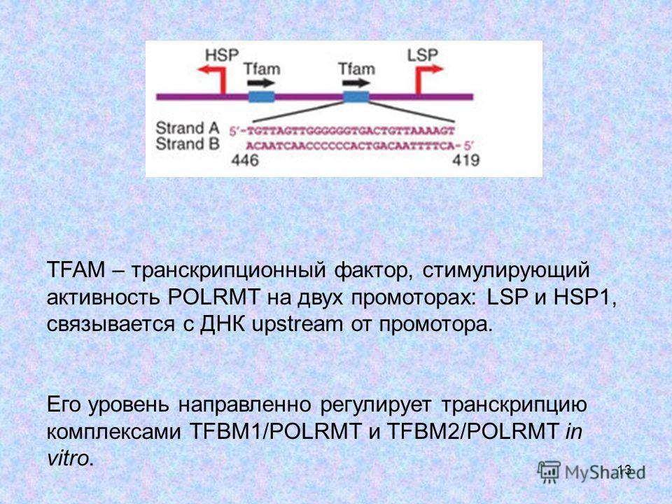 13 TFAM – транскрипционный фактор, стимулирующий активность POLRMT на двух промоторах: LSP и HSP1, связывается с ДНК upstream от промотора. Его уровень направленно регулирует транскрипцию комплексами TFBM1/POLRMT и TFBM2/POLRMT in vitro.