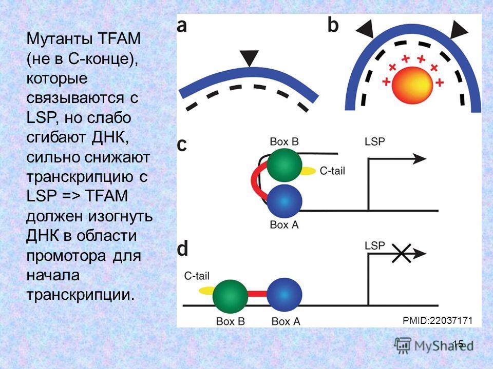 15 PMID:22037171 Мутанты TFAM (не в С-конце), которые связываются с LSP, но слабо сгибают ДНК, сильно снижают транскрипцию с LSP => TFAM должен изогнуть ДНК в области промотора для начала транскрипции.
