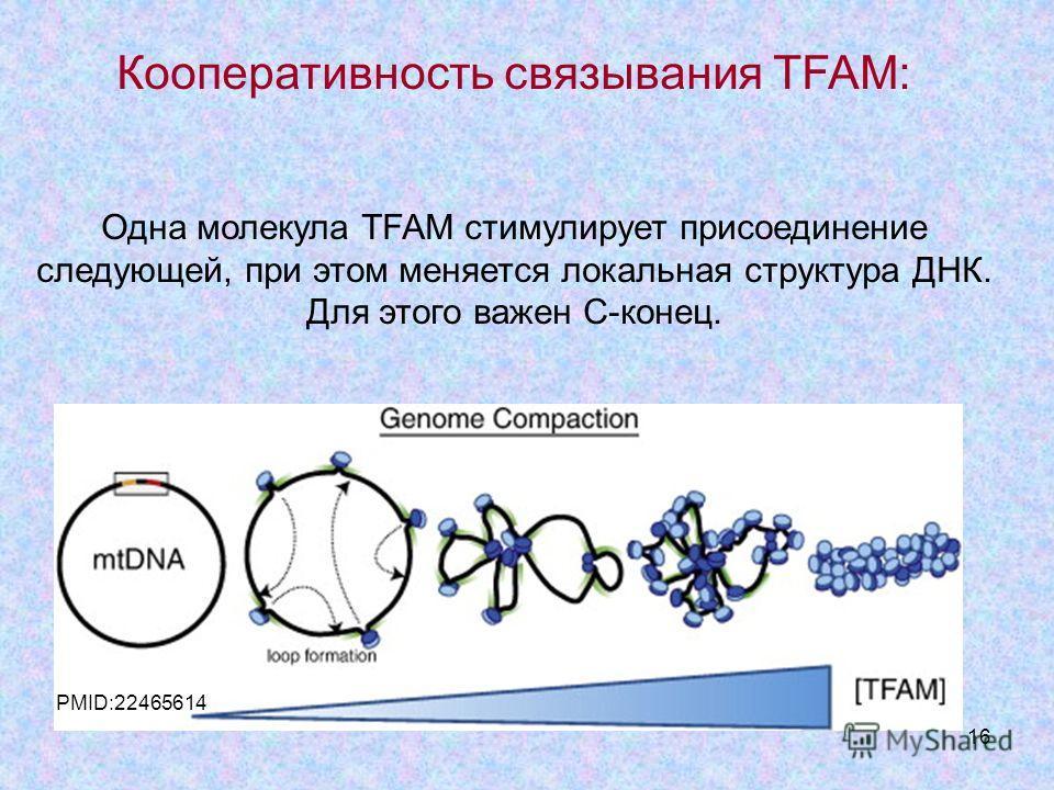 16 Кооперативность связывания TFAM: Одна молекула TFAM стимулирует присоединение следующей, при этом меняется локальная структура ДНК. Для этого важен С-конец. PMID:22465614