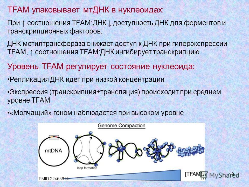 18 TFAM упаковывает мтДНК в нуклеоидах: При соотношения TFAM:ДНК доступность ДНК для ферментов и транскрипционных факторов: ДНК метилтрансфераза снижает доступ к ДНК при гиперэкспрессии TFAM, соотношения TFAM:ДНК ингибирует транскрипцию. Уровень TFAM
