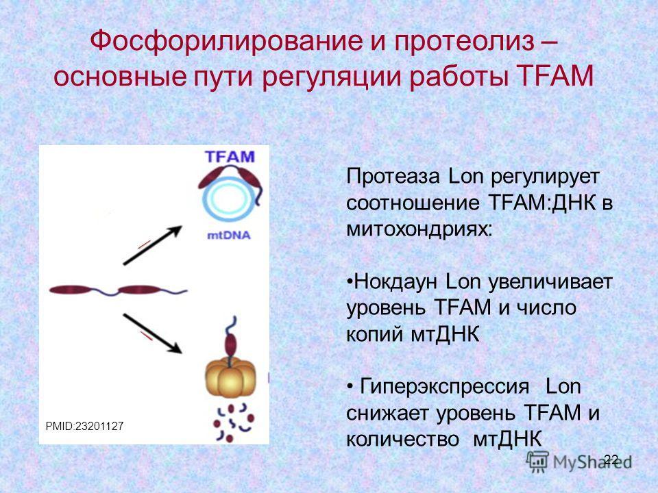 22 Протеаза Lon регулирует соотношение TFAM:ДНК в митохондриях: Нокдаун Lon увеличивает уровень TFAM и число копий мтДНК Гиперэкспрессия Lon снижает уровень TFAM и количество мтДНК Фосфорилирование и протеолиз – основные пути регуляции работы TFAM PM